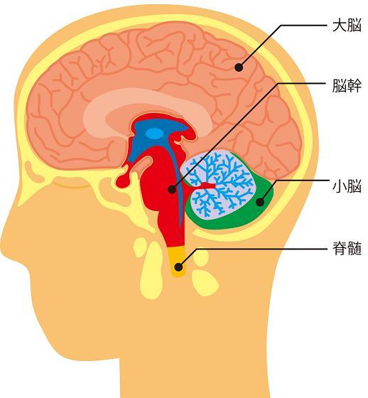 大脳・脳幹・小脳・脊髄